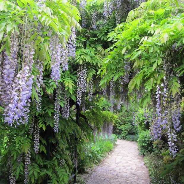 wisteriawalkway